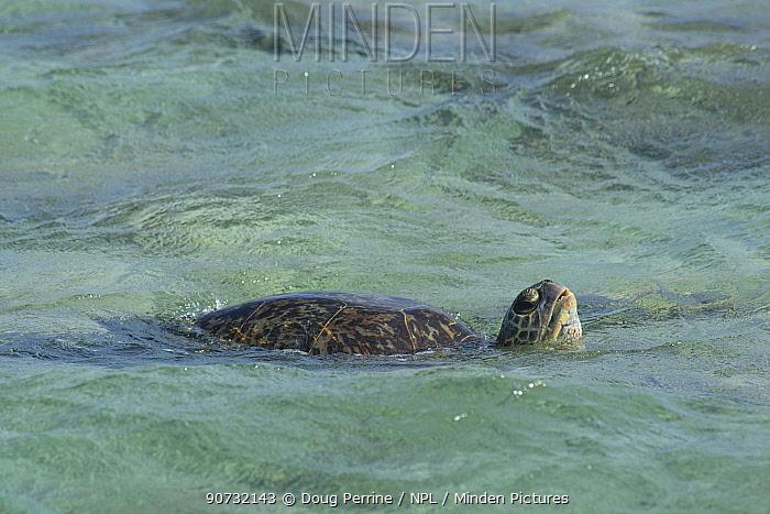 Green sea turtle (Chelonia mydas) lifts head to breathe at the primary breeding area for this species in the Hawaiian archipelago, East Island, French Frigate Shoals, Papahanaumokuakea Marine National Monument, Northwest Hawaiian Islands, Hawaii, USA, June