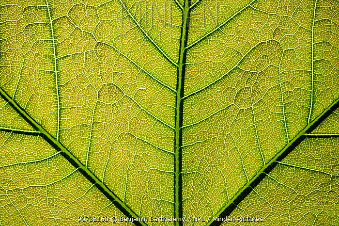Close up of a Plane tree (Platanus) leaf showing veins, Lorraine Regional Natural Park, France, May