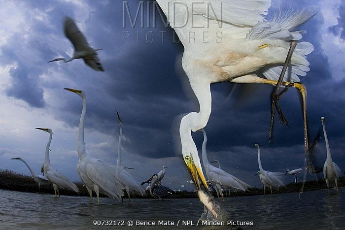 Great egret (Ardea alba) feeding on fish, Pusztaszer, Hungary, June.