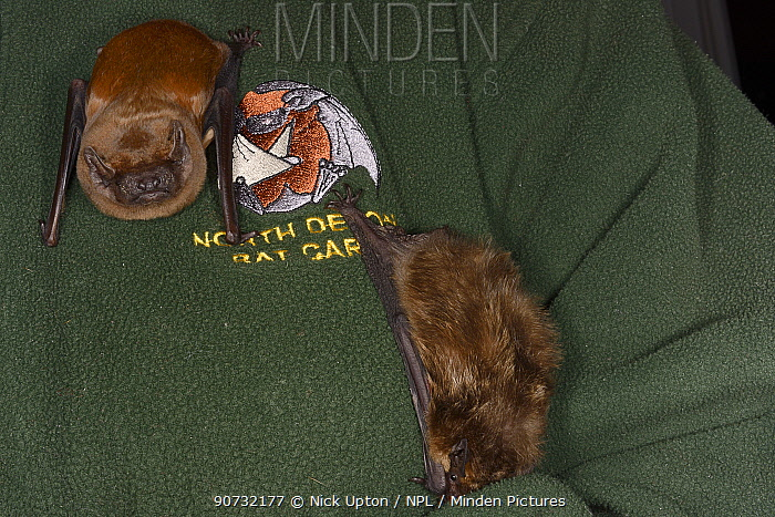 Samantha Pickering with a Noctule bat (Nyctalus noctula) and a Leisler's / Lesser noctule bat (Nyctalus leisleri) on her chest at her rescue centre, North Devon Bat Care, Devon, UK, October 2015. Model released.