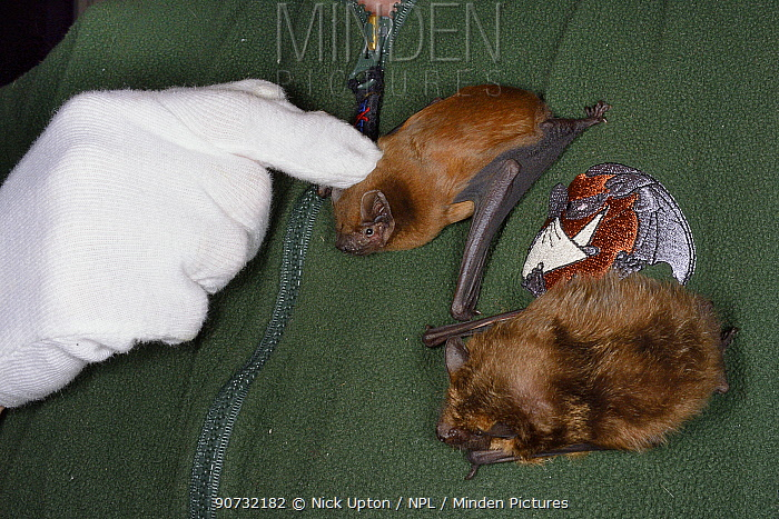 Samantha Pickering stroking a Noctule bat (Nyctalus noctula) next to a Leisler's / Lesser bat (Nyctalus leisleri) on her chest at her rescue centre, North Devon Bat Care, Devon, UK, October 2015. Model released.