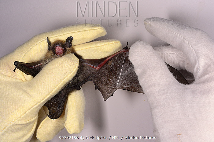 Whiskered bat (Myotis mystacinus) with a wing damaged by a cat being inspected by Samantha Pickering at the bat rescue centre at her home, Barnstaple, Devon, UK, October 2015. Model released.