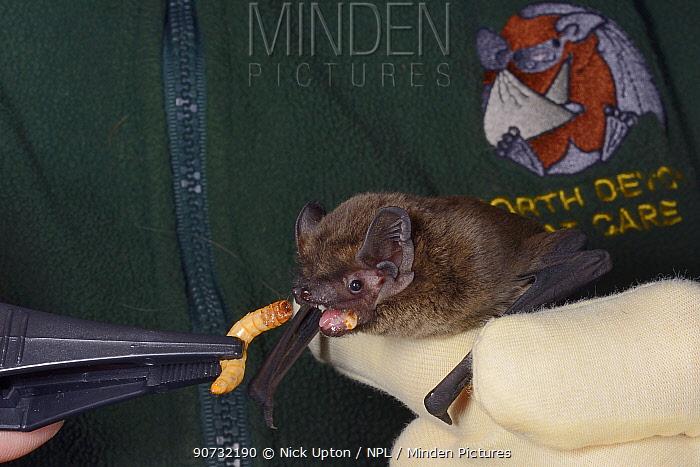 Leisler's / Lesser noctule bat (Nyctalus leisleri) being offered a mealworm at North Devon Bat Care, Devon, UK, October 2015. Model released.