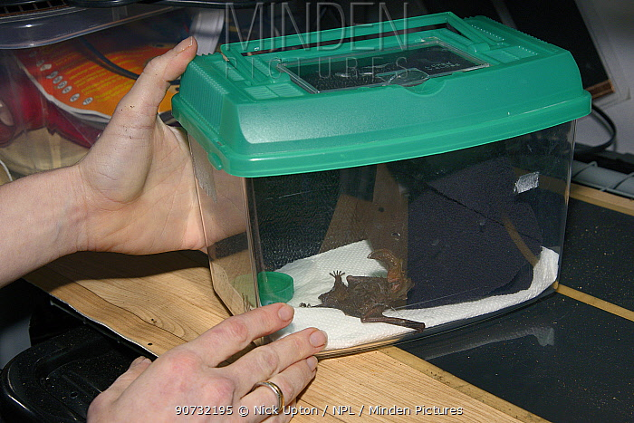 Samantha Pickering placing a Brown long-eared bat (Plecotus auritus) in a cage on a heat pad to dry after freeing it from flypaper and washing at her rescue centre, Barnstaple, Devon, UK, October 2015. Model released.