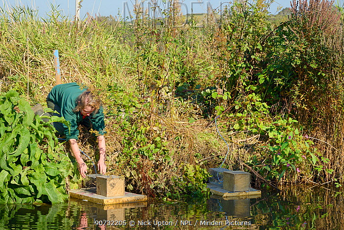 Teagen Hill of Westland Countryside Stewards checking traps set on floating rafts for Water voles (Arvicola amphibius) on the Bude canal, Cornwall, UK, October 2015. Model released.