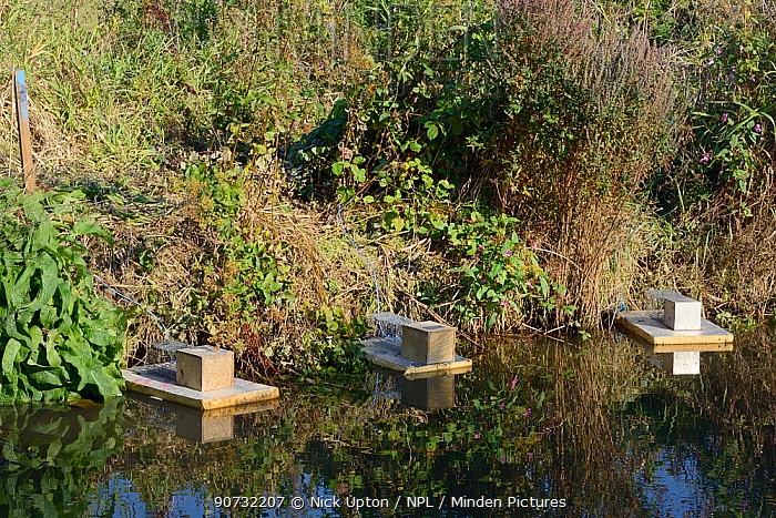 Traps set on floating rafts for Water voles (Arvicola amphibius) on the Bude canal, Cornwall, UK, October.