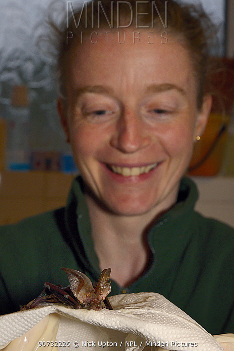Samantha Pickering with a Brown long-eared bat (Plecotus auritus) that was brought to her rescue centre that she has just successfully separated from the flypaper it was badly stuck to, Barnstaple, Devon, UK, October 2015. Model released.