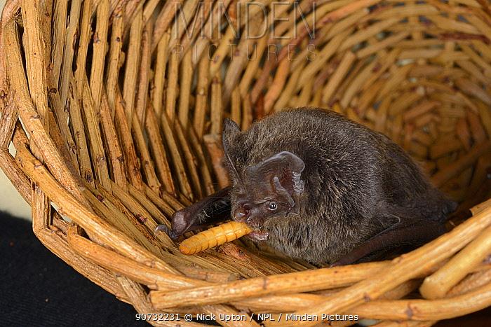 Barbastelle bat (Barbastella barbastellus) a rare bat in the UK, eating a mealworm at North Devon Bat Care, Barnstaple, Devon, UK, October 2015. Model released.