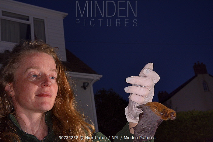 Samantha Pickering preparing to release a Common pipistelle bat (Pipistrellus pipistrellus) in her garden after it was rescued locally and fully reabilitatated at her bat sanctuary, North Devon Bat Care, Barnstaple, Devon, UK, June 2016. Model released