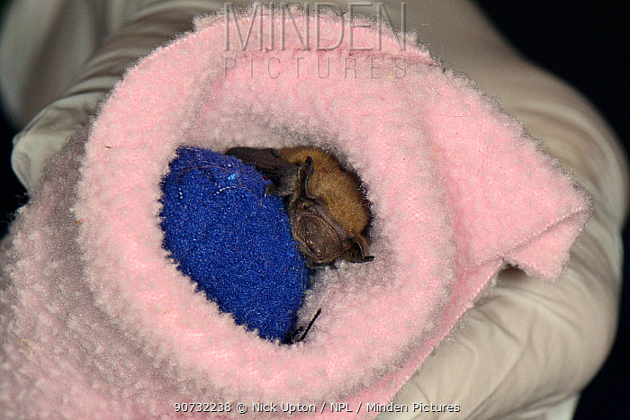 Rescued week old abandoned Common pipistrelle bat pup (Pipistrellus pipistrellus) clinging to a ball of fabric and wrapped in a fleece before being placed in an incubator between feeds, North Devon Bat Care, Barnstaple, Devon, UK, June 2016. Model released.