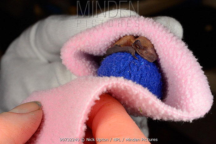 Rescued week-old abandoned Common pipistrelle bat pup (Pipistrellus pipistrellus) clinging to a ball of fabric and being wrapped in a fleece before being placed in an incubator between feeds, North Devon Bat Care, Barnstaple, Devon, UK, June 2016. Model released.