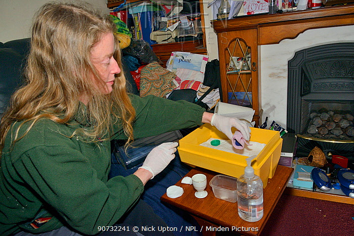 Samantha Pickering placing a week-old abandoned Common pipistrelle bat pup (Pipistrellus pipistrellus) wrapped in a small fleece in an incubator in her living room at night between two-hourly feeds, North Devon Bat Care, Barnstaple, Devon, UK, June 2016. Model released.