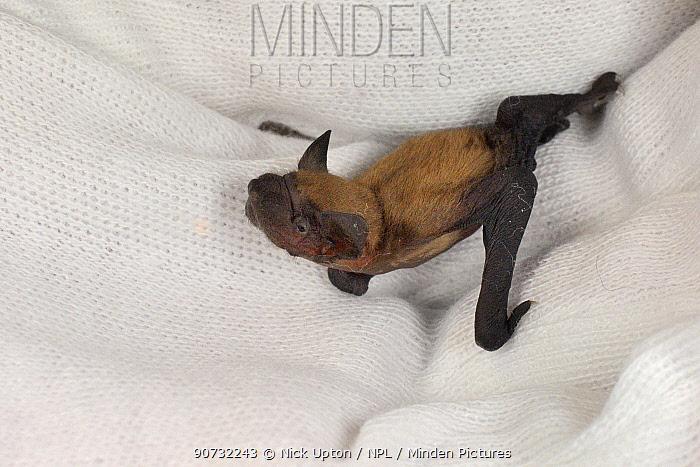 Rescued week-old abandoned Common pipistrelle bat pup (Pipistrellus pipistrellus) held in a hand after being fed with goat's milk, North Devon Bat Care, Barnstaple, Devon, UK, June 2016.