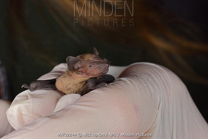 Rescued week-old abandoned Common pipistrelle bat pup (Pipistrellus pipistrellus) held in a hand after being fed with goat's milk, North Devon Bat Care, Barnstaple, Devon, UK, June 2016. Model released