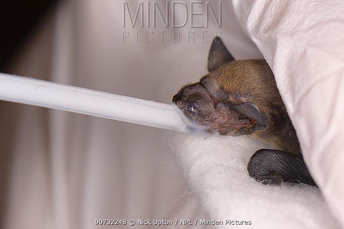 Rescued week old abandoned Common pipistrelle bat pup (Pipistrellus pipistrellus) being fed with goat's milk from a pipette, North Devon Bat Care, Barnstaple, Devon, UK, June 2016. Model released