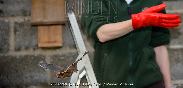 Rescued Leisler's bat / Lesser noctule (Nyctalus leisleri) having its recovery and ability to fly tested in a flight cage by Samantha Pickering at dusk, before being released back to the wild, North Devon Bat Care, Barnstaple, Devon, UK, June 2016. Model released.