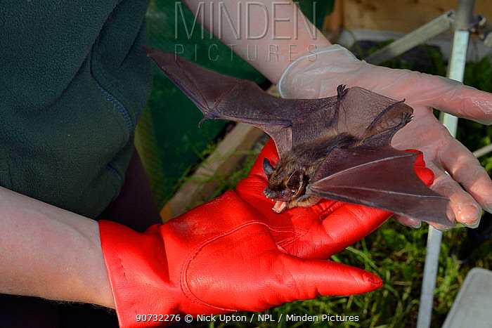 Rescued Serotine bat (Eptesicus serotinus) held in a hand performing a threat display while having its recovery and ability to fly tested in a flight cage before release back to the wild, North Devon Bat Care, Barnstaple, Devon, UK, June 2016. Model released