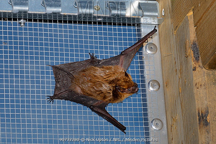 Rescued Serotine bat (Eptesicus serotinus) resting on wires of a flight cage where its recovery and ability to fly is being tested before being released to the wild, North Devon Bat Care, Barnstaple, Devon, UK, June 2016.