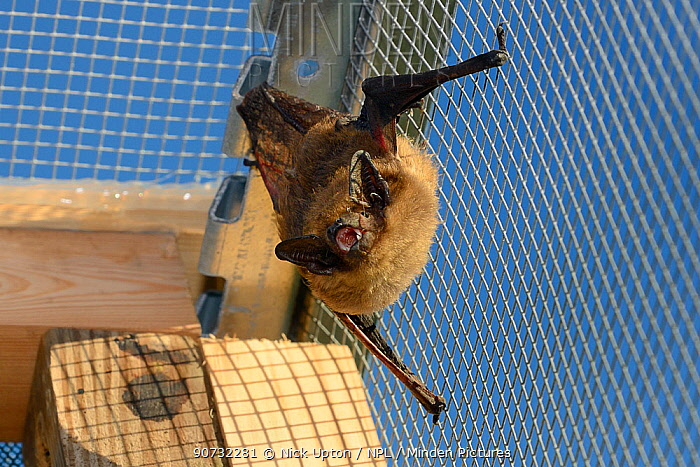 Rescued Serotine bat (Eptesicus serotinus) resting and echolocating on wires of a flight cage where its recovery and ability to fly is being tested before being released back to the wild, North Devon Bat Care, Barnstaple, Devon, UK, June 2016.