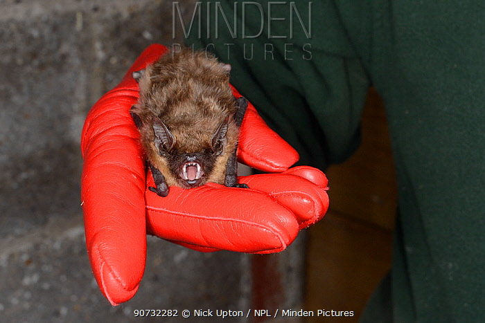 Rescued Serotine bat (Eptesicus serotinus) held in a hand, about to have its recovery and ability to fly tested in a flight cage before release back to the wild, North Devon Bat Care, Barnstaple, Devon, UK, June 2016. Model released