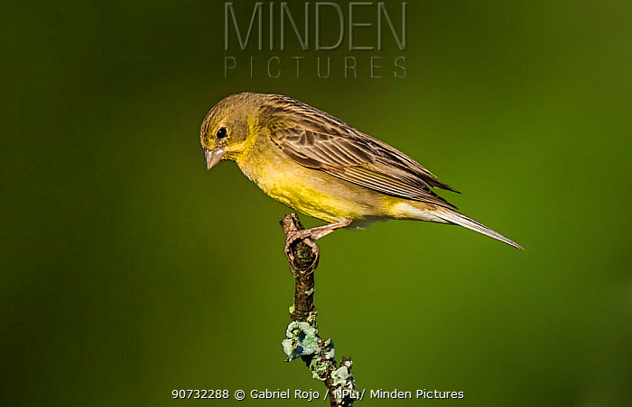 Grassland yellow finch (Sicalis luteola) La Pampa, Argentina
