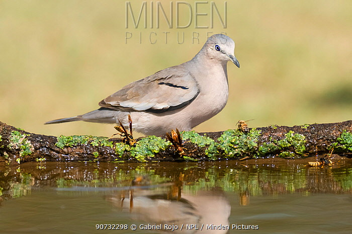 Eared dove (Zenaida auriculata) by water, Calden forest, La Pampa, Argentina