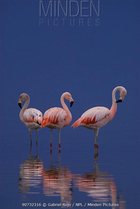 Chilean flamingo (Phoenicopterus chilensis) La Pampa, Argentina