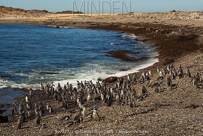 Rockhopper penguin (Eudyptes chrysocome) large flock on beach, Penguin Island, Puerto Deseado, Santa Cruz, Patagonia Argentina