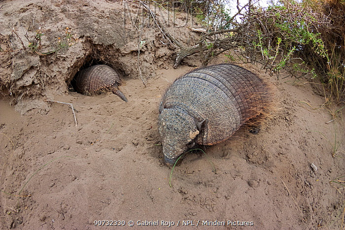 Large hairy armadillo (Chaetophractus villosus) with  one going into its  burrow, La Pampa, Argentina