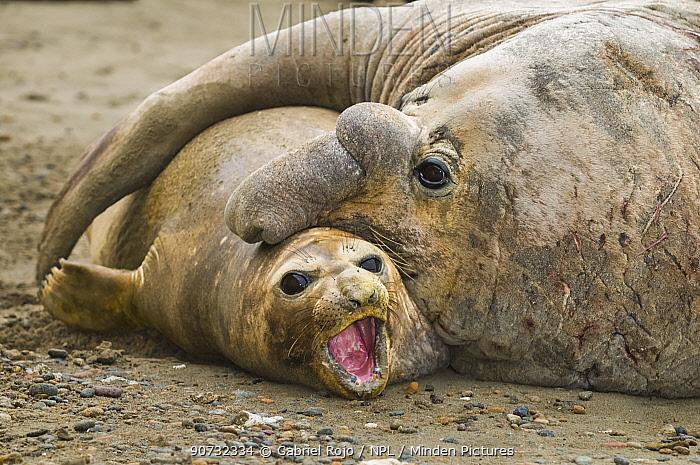South Atlantic elephant seal (Mirounga leonina) male mating with female, Peninsula Valdes, Chubut, Patagonia, Argentina