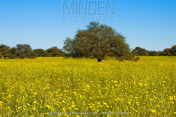 Pampas grassland in flower with Calden tree (Prosopis caldenia) in distance, La Pampa, Argentina