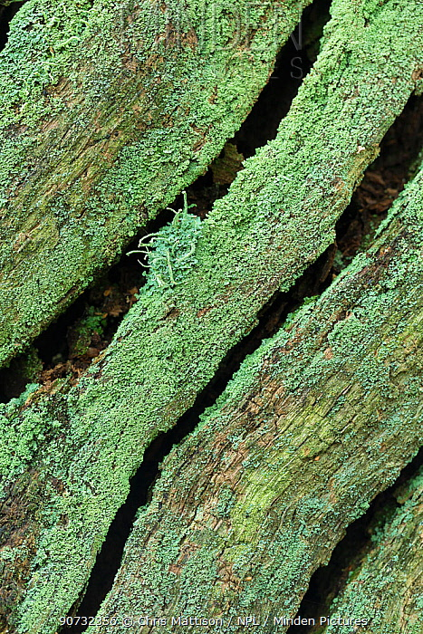 Lichen (Cladonia coniocraea) on oak stump, Sherwood Forest, Nottinghamshire UK