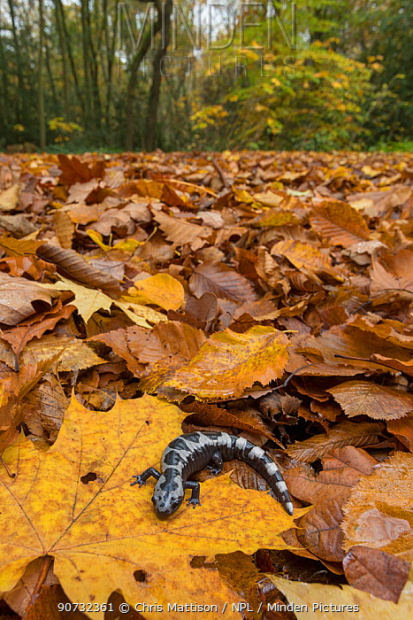 Marbled salamander (Ambystoma opacum) male animal in woodland, native to North America, captive