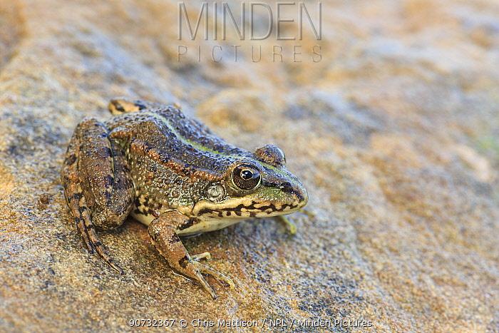 Iberian water / Perez's frog (Pelophylax perezi) Algave, Portugal.