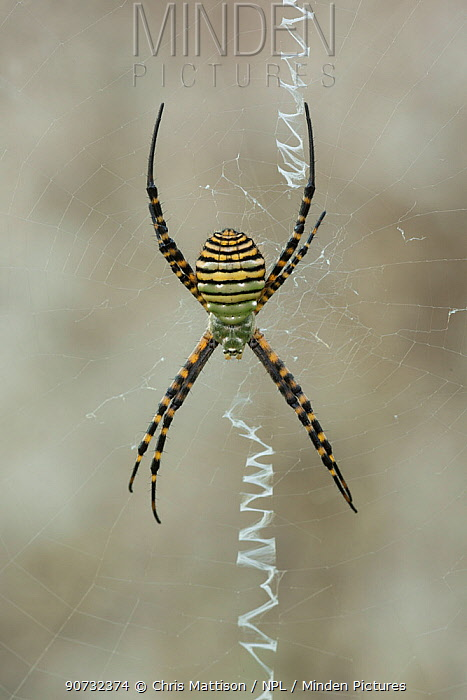 Wasp spider (Argiope bruennichi) Algarve, Portugal
