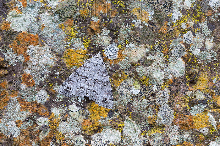 Moth (Ascotis fortunata) camouflaged against lichen-covered rock, Las Rosas, La Gomera, Canary Islands, Spain. Species endemic to Canaries, Azores and Madeira.