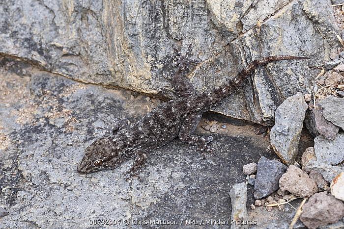 La Gomera gecko (Tarentola gomerensis) endemic species, San Sebastian, La Gomera, Canary Islands