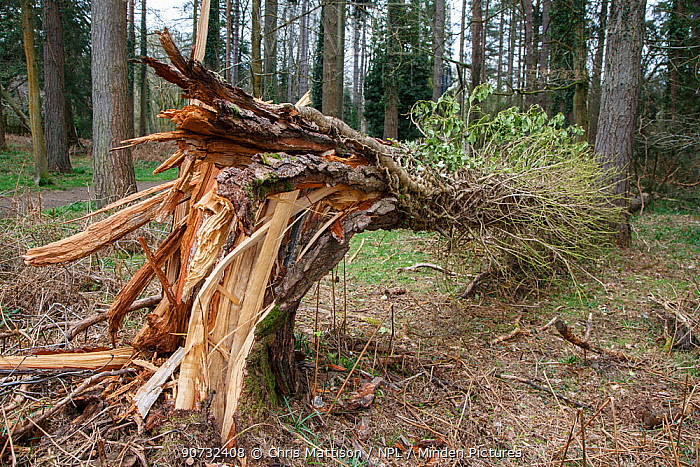 Tree blown over as a result of gales, Forest of Dean, Gloucestershire, UK April 2016