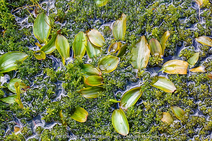 Broad-leaved pondweed (Potamogeton natans) growing among Sphagnum moss in a small pond in Woorgreens Nature Reserve, Gloucestershire, UK