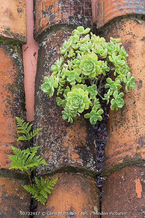 (Aeonium castello-paivae) endemic to La Gomera and a fern (Davallia canariense) growing on a terracotta roof, Las Rosas, La Gomera, Canary Islands, Spain