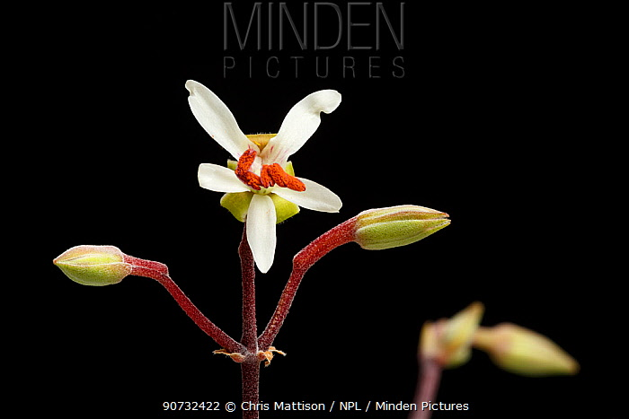 Samphire-leaved pelargonium (Pelargonium crithmifolium) a succulent plant from Namaqualand, Luderitz Bay, Namibia