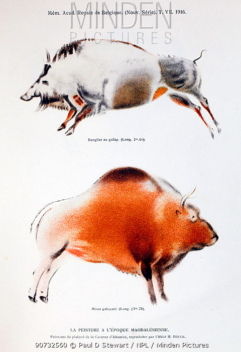 Copy of cave painting  of wild European bison from Altamira Cave, Spain, by Abbe H. Breuil  from A Rutot. 'Un essai de reconstitution plastique des races humaines primitives'. 1916. The original painting was made between 34, 000 and 14, 000 years ago.