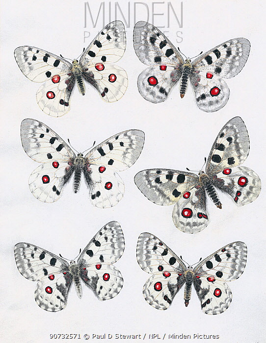 Series of paintings of Apollo butterflies (Parnassius apollo) showing variation between subspecies. By unknown European artist, from 1875.