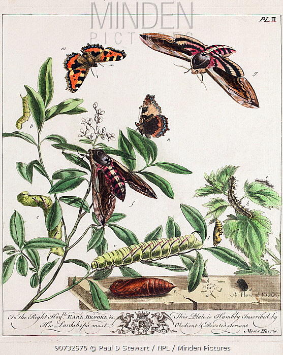Historical illustration of Privet hawkmoth (Sphinx ligustri), and Small tortoiseshell butterfly (Aglais urticae) showing 'aurelian' chrysalis. Plate II in the first edition of the Aurelian by Moses Harris, 1766.