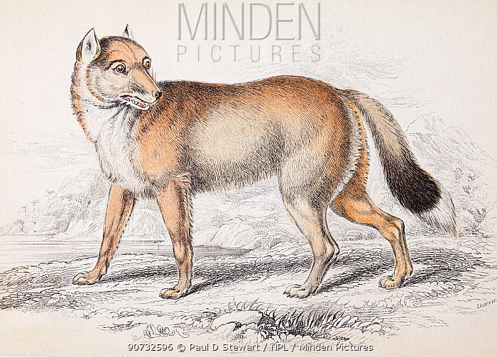 'The Falkland Island Aguara dog' the extinct Falkland wolf (Canis antarctus / Dusicyon australis) plate 23 steel engraving with hand colouring as issued. From  'Natural History of Dogs' Charles Hamilton Smith,   1839. This species went extinct in 1879.