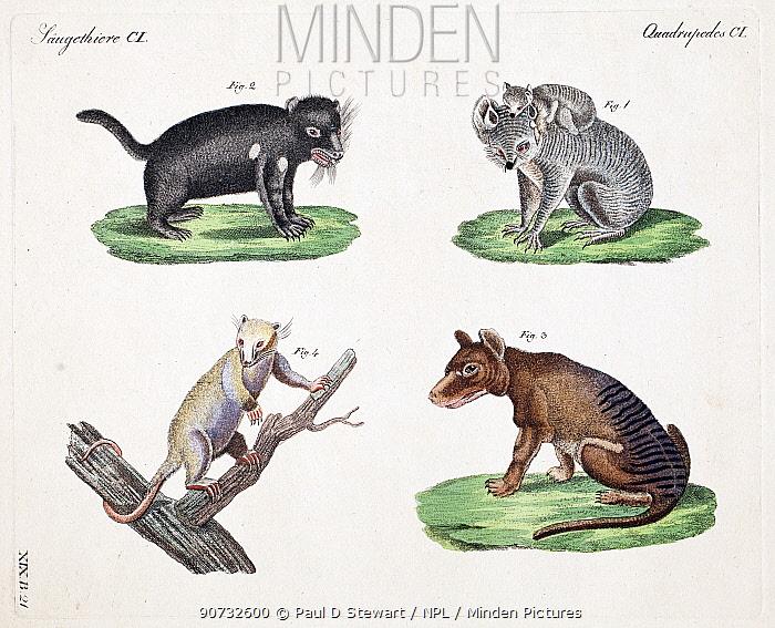 Illustrations of Thylacine (Thylacinus cynocephalus),  Tasmanian Devil (Sarcophilus harrisii) Koala (Phascolarctos cinereus) and Possum (Pseudocheirus spp.)  from F.J. Beruch 'Bilderbuch fur Kinder' 1821. Weimar publishers, Germany.