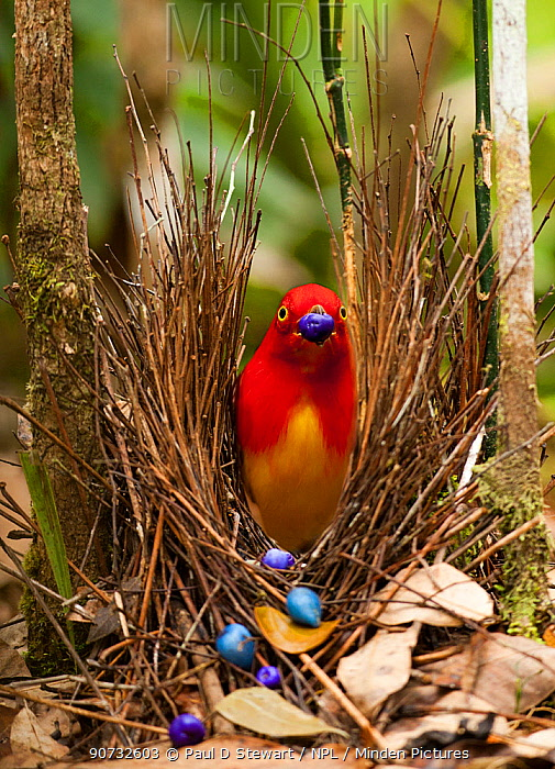 Flame bowerbird (Sericulus aureus) male decorating bower with berries to attract females, Papua New Guinea.