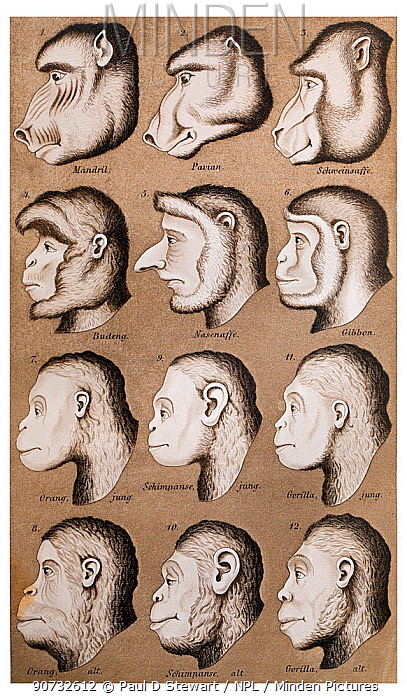 Historical illustration of primates from Naturliche Schopfungsgeschichte (2nd edition) by Ernst Haeckel, 1870. Haekel was a leading proponent of what is now described as scientific racism and believed in polygenism, specifically that that humans were 12 separate species. This illustration compares humans to other primate species, in this case using poor art to enhance similarities with some humans compared to apes.