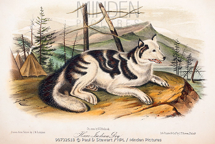 Copperplate engraving of Hare dog with contemporary hand colouring from 'The Viviparous Quadrupeds of North America' by John James Audubon and John Bachman, originally published in three volumes (1845-1848). The Hare Indian dog is an extinct dog breed used by the Hare Indians for coursing because it was fast and agile like a coyote. This species went extinct due to interbreeding with other dogs.