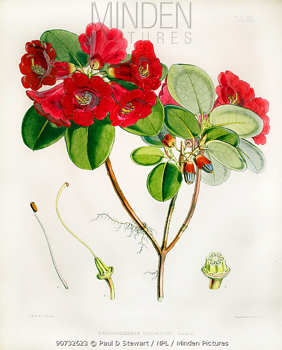 Illustration of  'Rhododendron thomsonii', discovered and named by Joseph Hooker himself. Plate 12 in J. D. Hooker, 'Rhododendrons of the Sikkim-Himalaya' 1851.